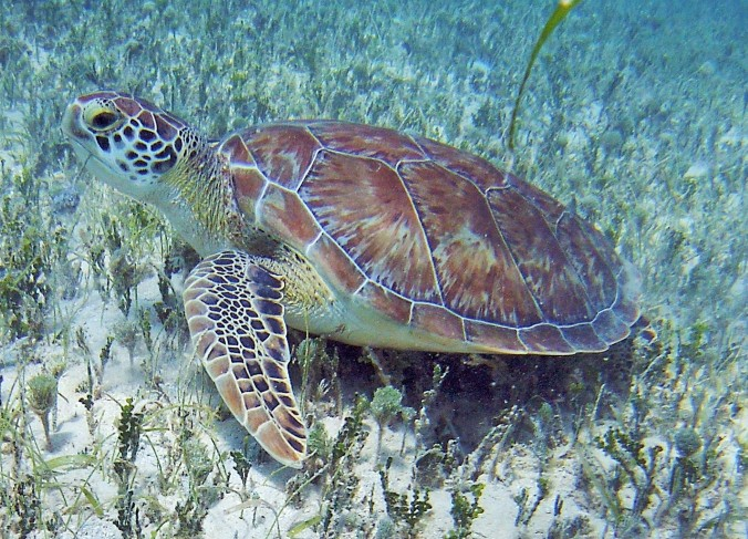 St Martin Sea Turtle