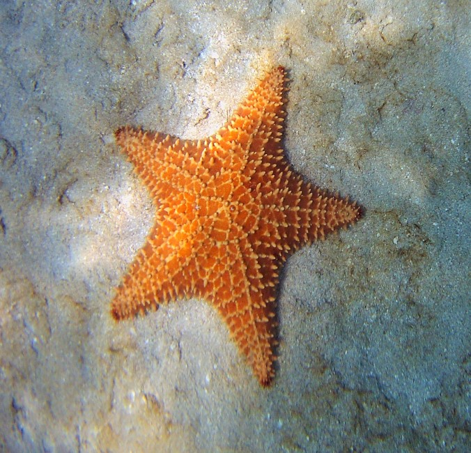 St Martin starfish