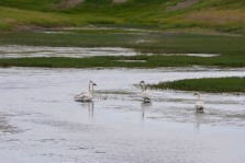 animal swans