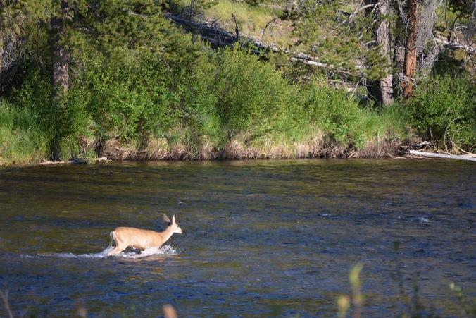 Deer in the river
