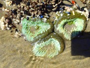 rock anemones