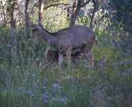 Black Canyon doe and fawn
