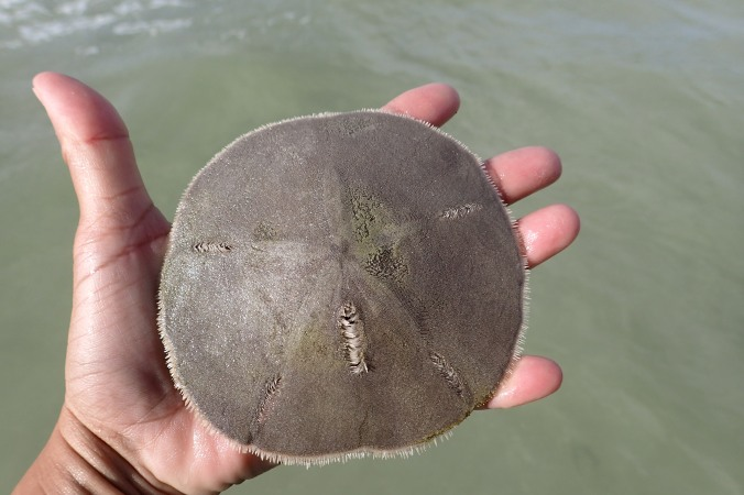 Live Sand Dollar, found these by the dozens just off shore less than an inch below the sand.