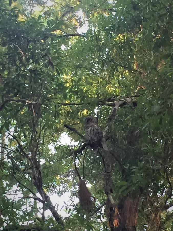 10-wekiva-owl