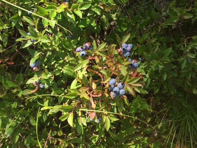7-huckleberries