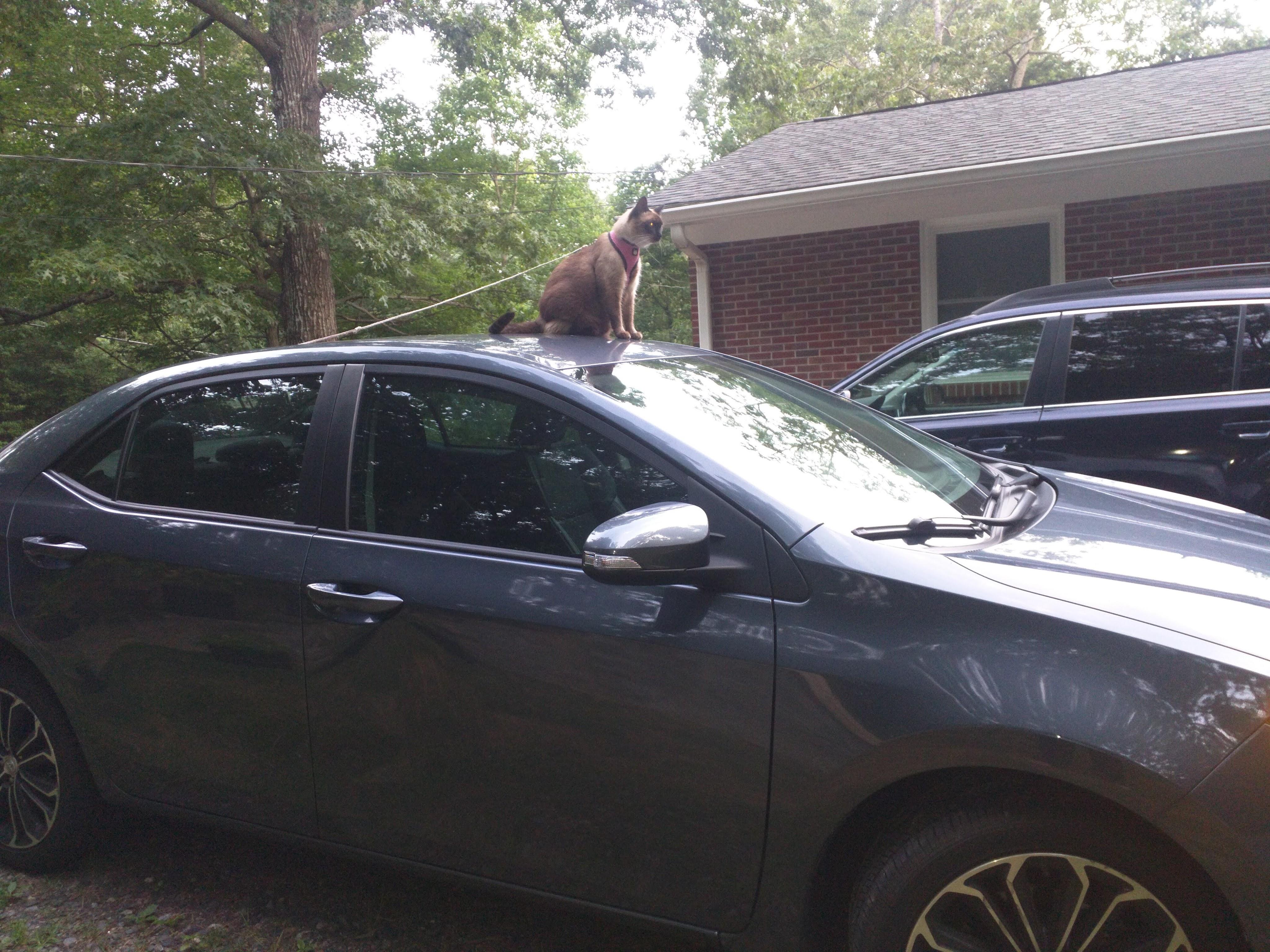 1-cat-car
