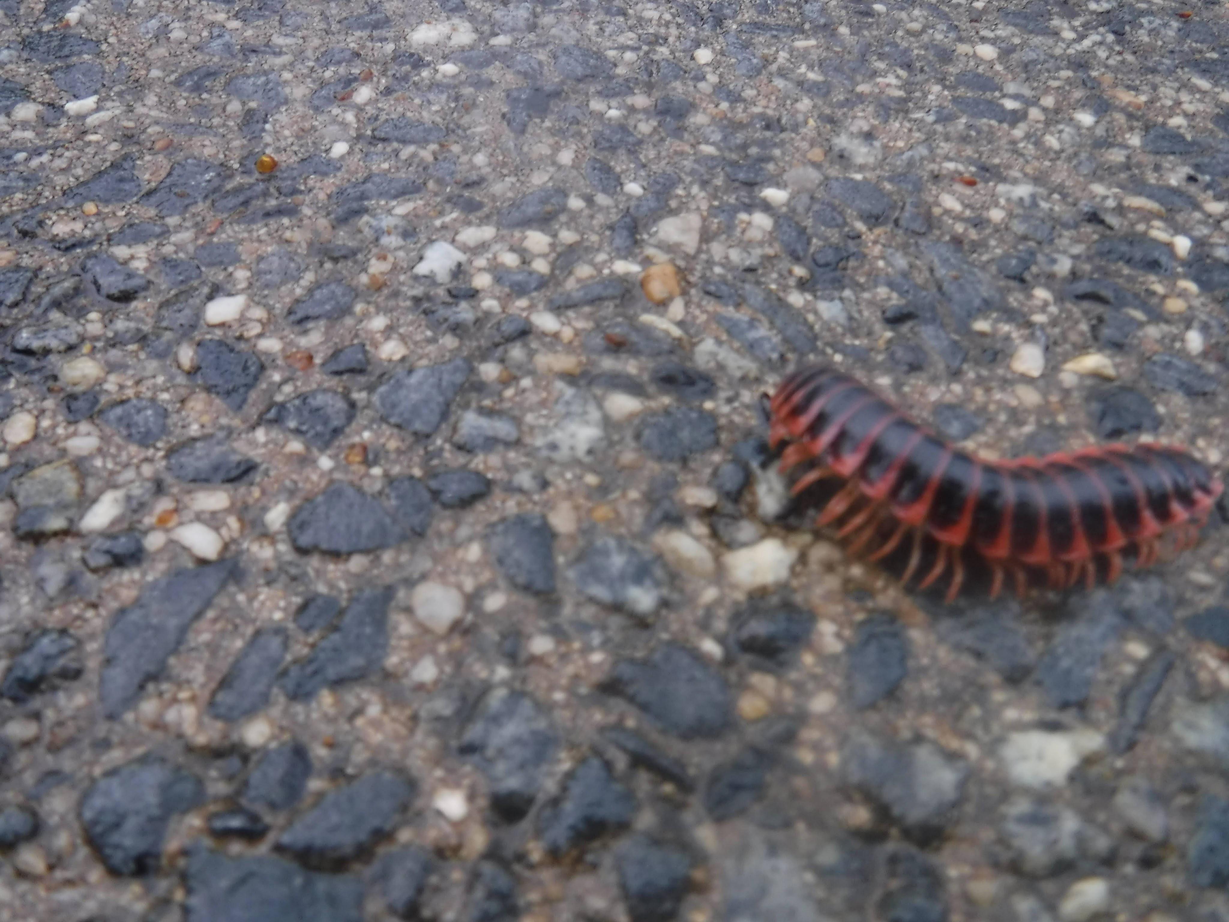 12-centipede